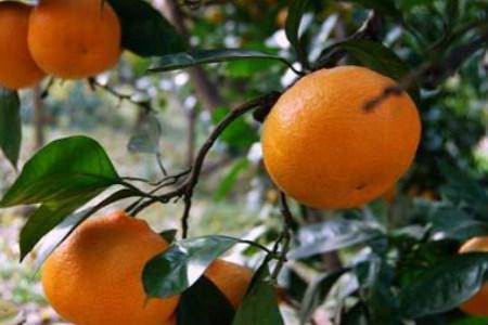 苏州东山橘子什么时候成熟图片